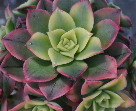 aeonium kiwi succulent plant 2 5in by thesucculentgarden on etsy