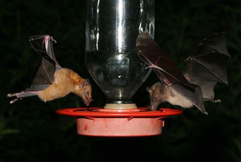 Bat Feeder tucson s hummingbird feeder bats the firefly forest