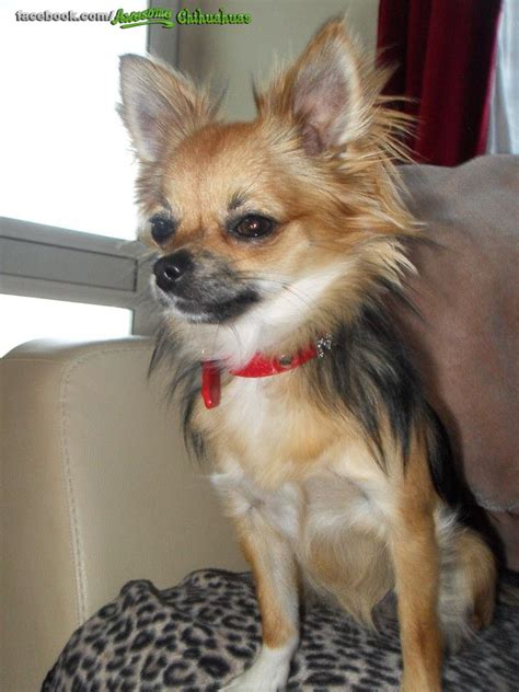 pictures of long haired chihuahua haircuts long hair chihuahua haircut find hairstyle