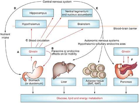 w dka z energy drinkiem ghrelin causes symptoms treatment ghrelin