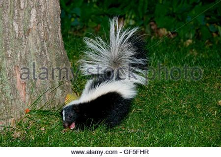 skunk in backyard skunk in backyard stock photo royalty free image 112604066 alamy