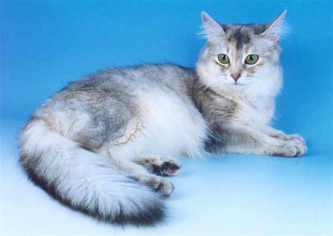 Silver Somali Cat   www.pixshark.com   Images Galleries