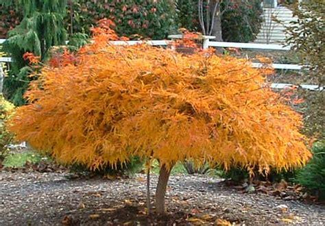 maple tree zone 6 varieties of japanese maple garden inspiration