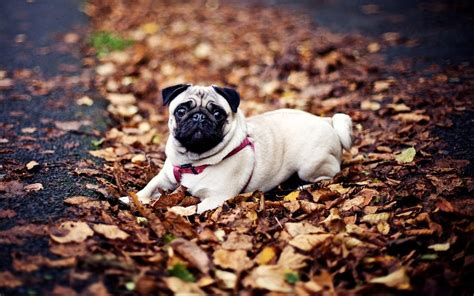 pug wallpaper 1920x1080 pug sitting in the leaves wallpaper 690704