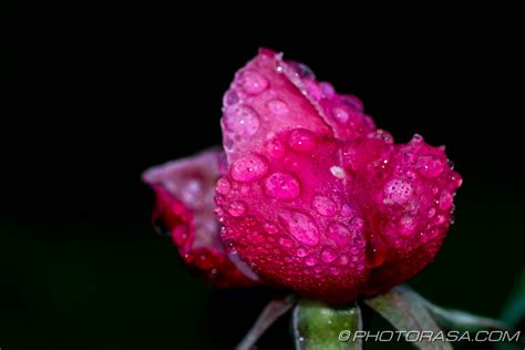 water drops on pink wild rose iowa pictures iowa habrumalas pink rose with water drops images