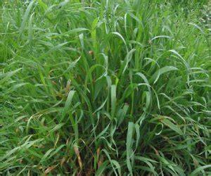 couch grass rhizome product 2533 bristol botanicals
