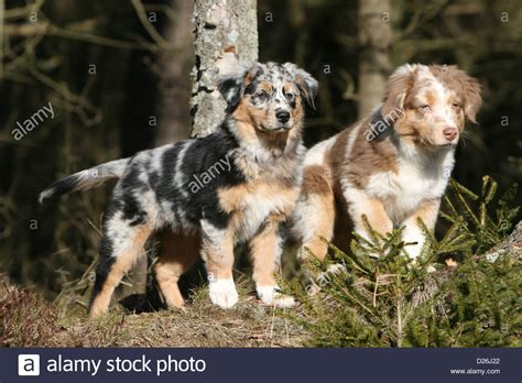 australian shepherd colors australian shepherd aussie two puppies different