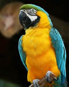 Curtains Sales Blue And Yellow Macaw Photograph By Regina Williams