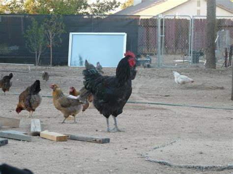 jersey or any large breed would fit roosting