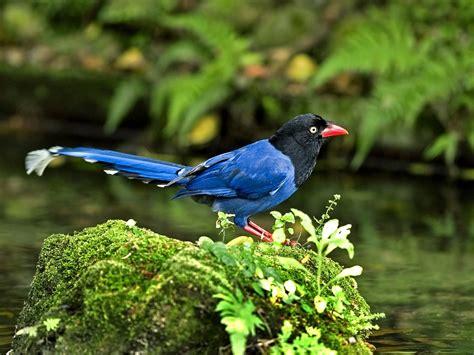 taiwan blue magpie taiwan national bird