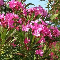 Pansie Flower - australian seed nerium oleander