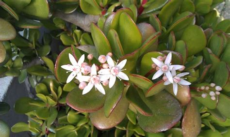 pianta con fiori bianchi tipo calla piante grasse la topina della valle argentina