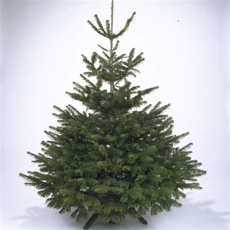 scots pine christmas tree how to choose the perfect