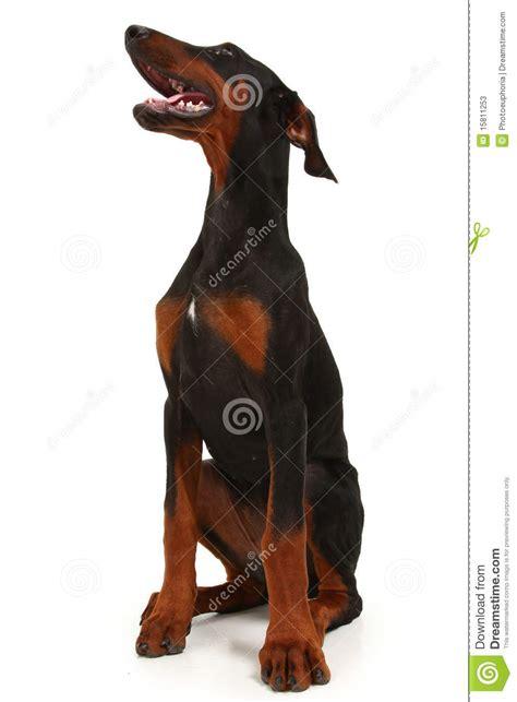 half rottweiler half doberman half doberman half great dane breeds picture