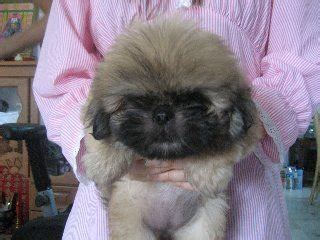 shih tzu pekingese mix for sale dogs and cats breed shih tzu dogs and cats wallpapers puppies breeds picture