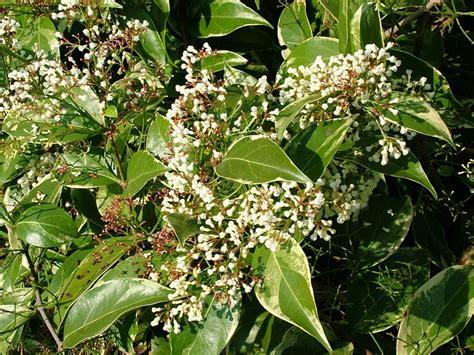 khasiat  tanaman herbal sebagai obat jantung batuk