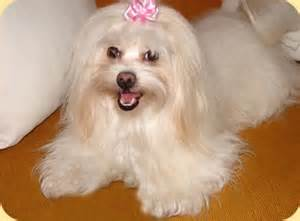 why has my maltese terrier got thin hair 19 best images about maltese a rama on pinterest her