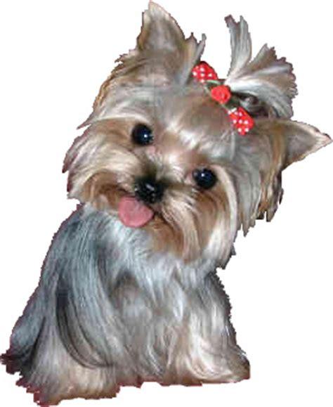 designer yorkie haircuts yorkie designer haircut yorkie designer haircuts dog