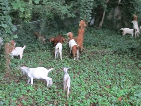 get your goat rentals goats for land clearing the hull truth boating and