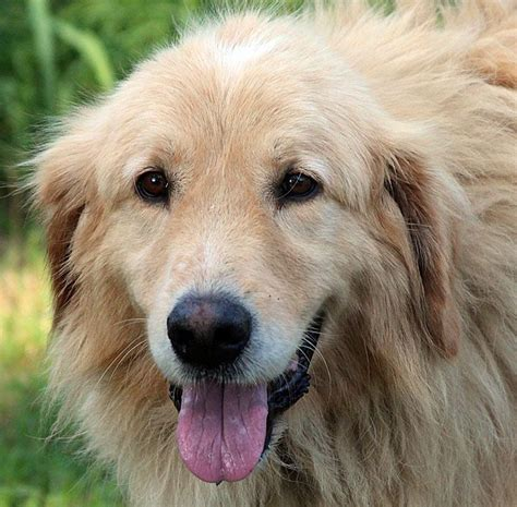 pyrenees golden retriever mix great pyrenees golden retriever mix my great pyrenees golden retriever mix