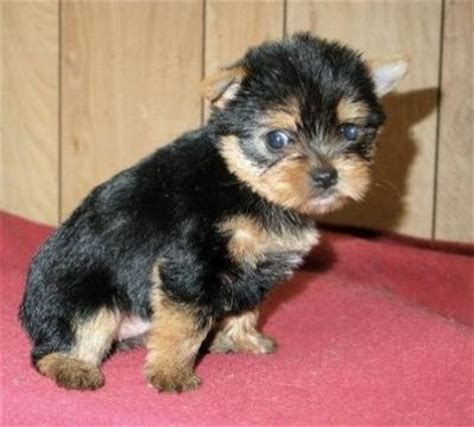 adorable teacup yorkie puppies for adoption excellent teacup yorkie puppies available for free adoption book covers