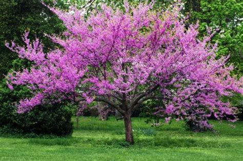forest pansy eastern redbud garden tree the wishing