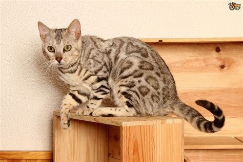 Bengal Cat Colours and Coat Types   Pets4Homes