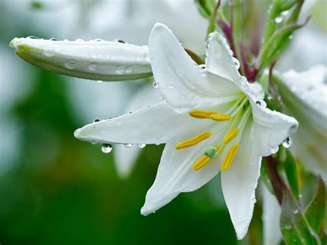 natural white white lily flowers natural hd wallpaper wallpapers new