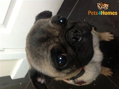 pugs for sale derby 3 years pug for sale derby derbyshire pets4homes