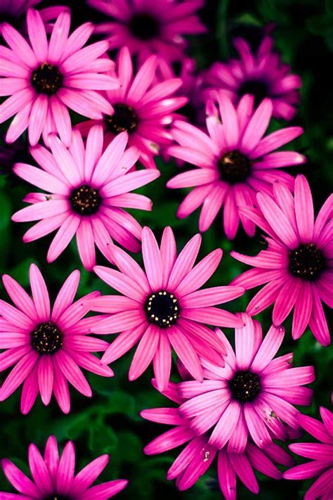 wallpaper flower iphone 4 pink chrysanthemum beautiful flowers iphone wallpaper