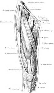 anterior view of the superficial muscles of the thigh