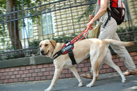 new puppy guide bar 225 thegyi vakvezető 233 s seg 237 tő kutya iskola alap 237 tv 225 ny