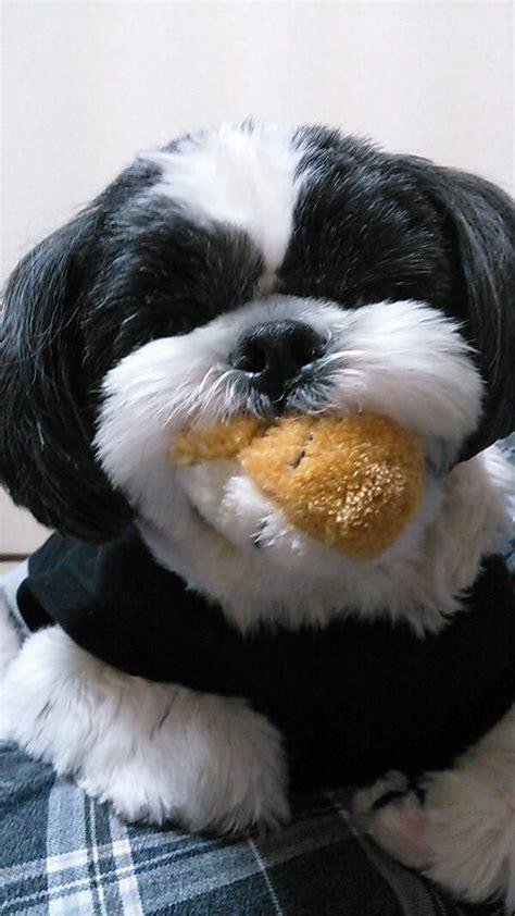 s shih tzu heaven best 259 shih tzu heaven images on animals and pets