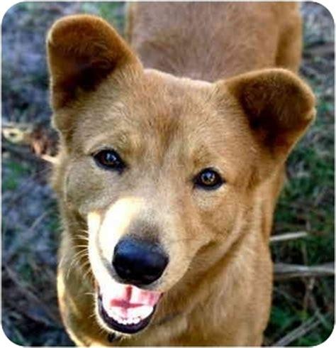lady adopted dog odessa fl shiba inugolden