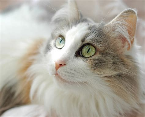 Ragamuffin Cat Pictures and Information   Cat Breeds.com