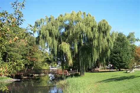 weeping trees why does the willow tree weep tbr news media