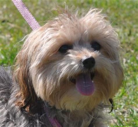 Kixa, a Yorkie/Poodle mix