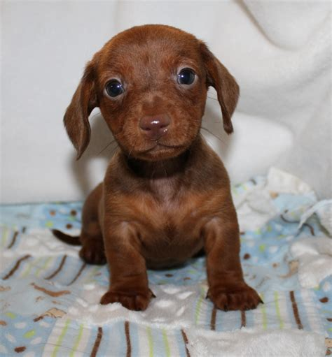 dachshund puppies nc smooth coat chocolate and piebald breeds picture