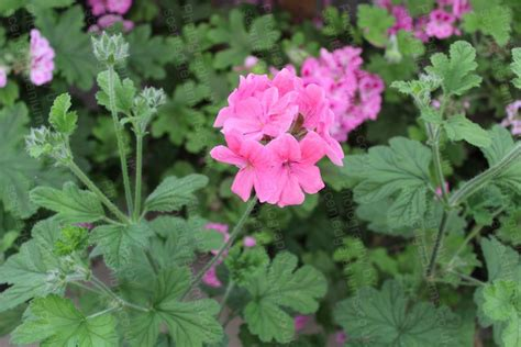 scented leaf pelargonium scented geraniums plants by post mail order from specialist growers