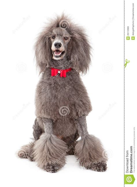 poodle dog  red bow tie stock image image