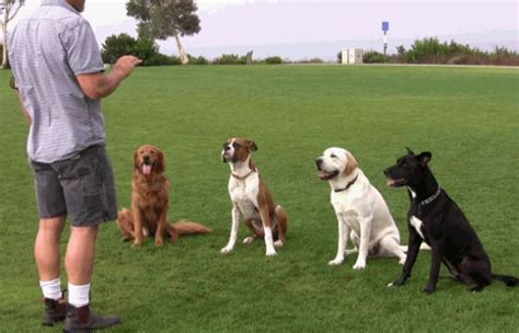 trained dogs advanced canine nashville obedience and puppy