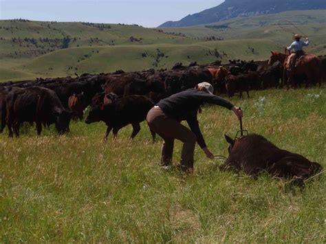 american cattle cattle drive vacation history dryhead ranch