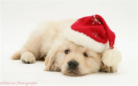puppy golden retrievers with hats on golden retriever pup wearing a santa hat photo wp12652