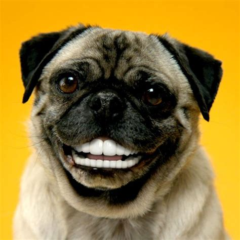 pug with dentures denture your own just upload a picture that s it http www