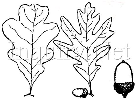 hickory tree coloring page trees of the ne