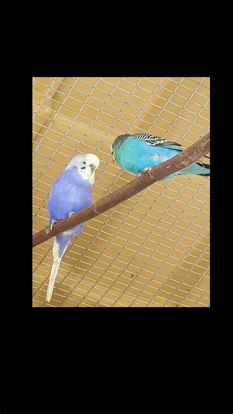 pappagallini ondulati alimentazione mutazione cocorito cocorite e pappagallini ondulati