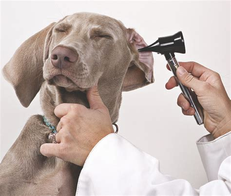 when can puppies hear why can dogs hear better than humans animalanswers co uk everything you need to