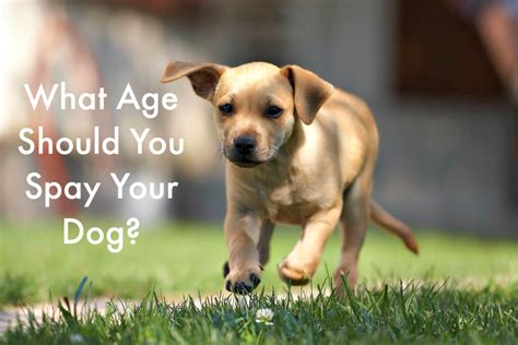age to spay a what age should you spay your pawsitively pets