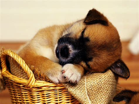 cute dog wallpapers cute puppies hd wallpapers collection hd wallpapers