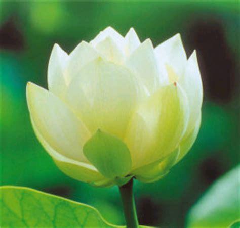 fiore simbolo di speranza fiori significato e simbologia